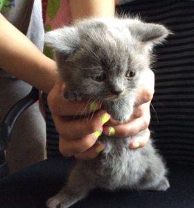 Продаётся котёнок. британская остроухая. Девочка.