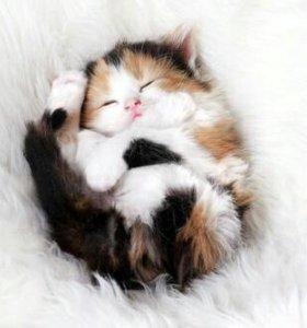 Котенок трехцветный