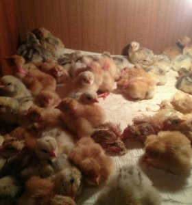 Цыплята:Голошейка,Кообб-500,мастер-грей