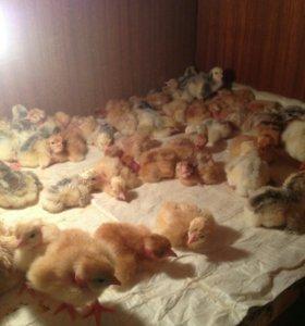 Цыплята суточные Голошейка, Кообб-500