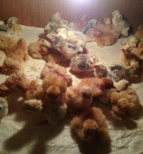 Цыплята бройлерные и инкубацион.яйцо