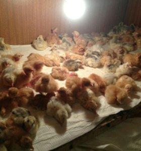 Цыплята Кообб-500,