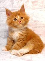 Котята мейн-кун. Кошки рыси!!!Возможен обмен.