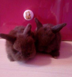 Кролики-Карликовые вислоухие барашки