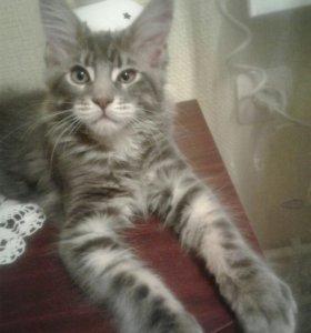 Котята Мейн Кун с родословной