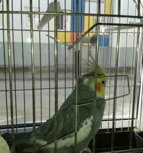 Говорящий попугайчик корелла
