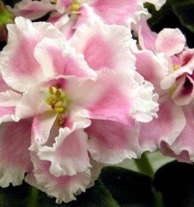Детки фиалка розовая акварель