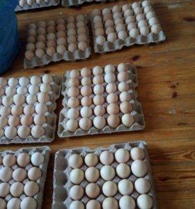 Инкубационное яйцо РОСС-308