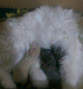 Персидский котята
