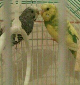 Два попугая +клетка и прочее