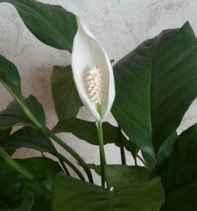 Цветущий спатифиллум