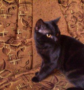 Молодой Шотландский Кот Вязка