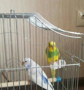 Попугаи пара вместе с клеткой