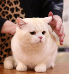 Вязка с Шотландским котом