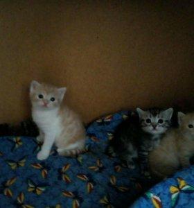 Котята, 1 месяц, все мальчики!