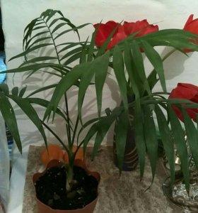 Цветок комнатный растение