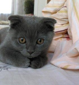Шотландский вислоухий котик 5,5 месяцев