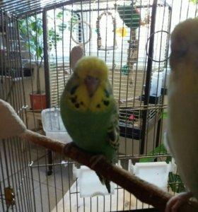 Выставочный волнистый попугай малыш