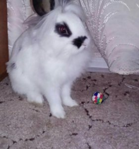 Декоративный карликовый цветной кролик