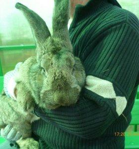 Кролики для разведения пород великанов