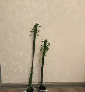 Молочай комнатные растения