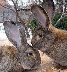 Кролики,Фландер,курицы,индюки,утки,козы,бараны.т.д