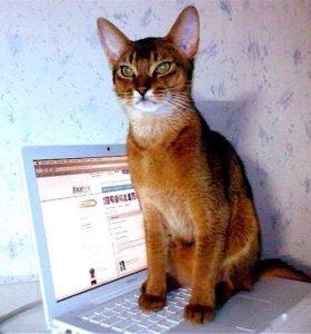 Кот Абесинец в добрые руки