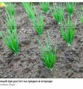 Продаётся зеленый лук 100 руб. за кг.