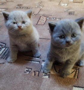 Котята британци