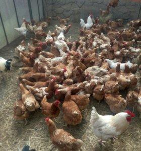 Домашнии куриные яйца