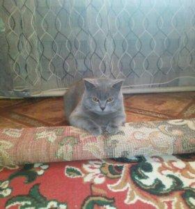 Котик ждет в гости британскую кошечку