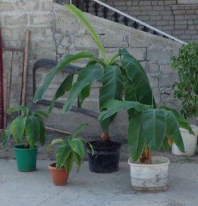 Банановая роща