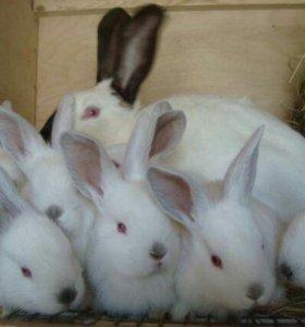 Крольчата Калифорнийские