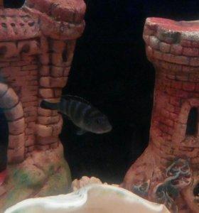Рыбки демасони пара