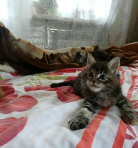 Котята породы мейнкун