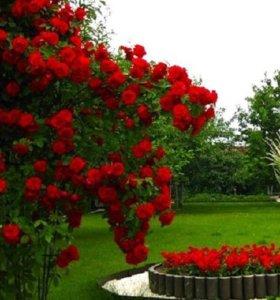 Кусты роз с открытой корневой