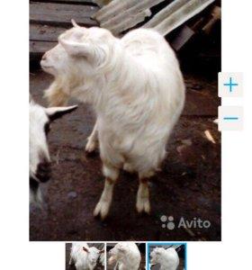 Продаю козла