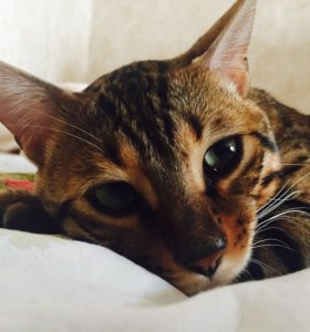 Вязка котик ищет кошечку