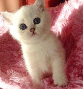 Продаются Британские котята разных возрастов.