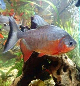 Рыбки Красный паку
