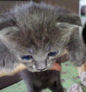 Котята вислоухие