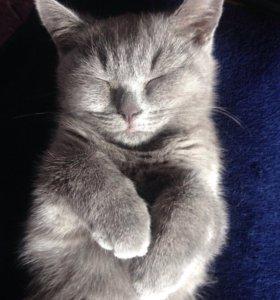 Котятки британской голубой