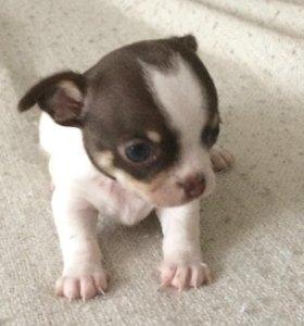 Готовится к продаже щенок,породы чихуахуа.Мальчик.