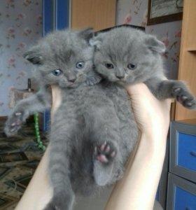 Шотландские котята мальчик прямоухий девочка вис