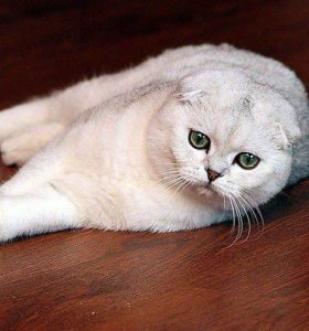 Шотландский кот Bя3кa