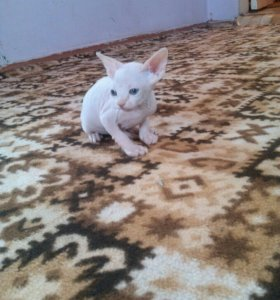 Белоснежный котенок канадского сфинкса