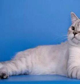 Продам Британских котят редких элитных окрасов