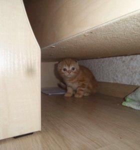 Рыжий шотландский котенок