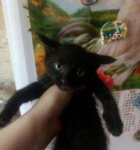 Отдам котят.Черные мальчик и девочка.Бежевый мальч