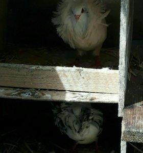Шалевые голуби